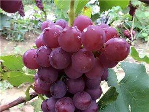 40畝無公害有機巨峰葡萄成熟,歡迎采摘和批發。