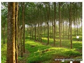 100多亩橡胶树木林地转让