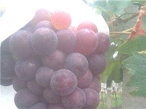 博峰夏秋有机葡萄庄园欢迎您!