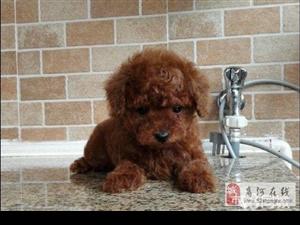 自家养的泰迪狗出售公母都有