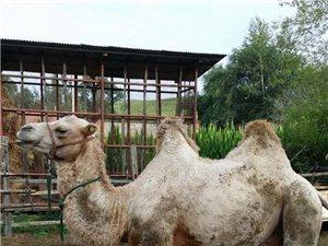 骆驼出售骆驼出售