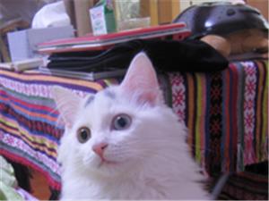 波斯猫赠送
