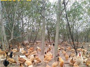 大量出售楊樹林散養土雞蛋、鴨蛋、鵝蛋、張灣村