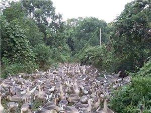 1000马岗鹅准备金沙游戏