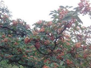 花椒苗,獅子頭花椒苗,韓城大紅袍花椒苗,韓城花椒苗