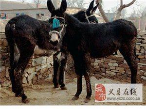 家養客驢出售