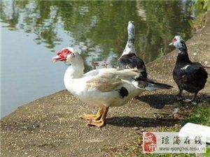 琼海发宝加积鸭