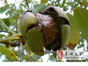 青州五里薄皮核桃基地,核桃8元一斤,青州市送貨上門