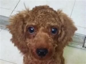 寻找8月21日走失的泰迪狗狗