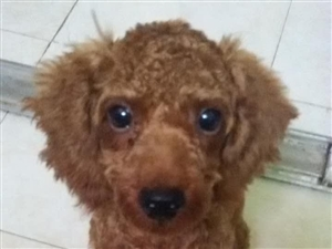 �ふ�8月21日走失的泰迪狗狗