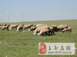 四百多大羊600一只随便挑