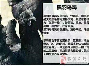 自家散养黑羽乌鸡,批发零售绿壳乌鸡蛋