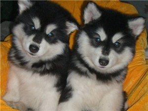 出售家养阿拉斯加幼犬