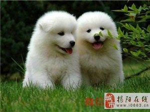 出售家养萨摩耶幼犬