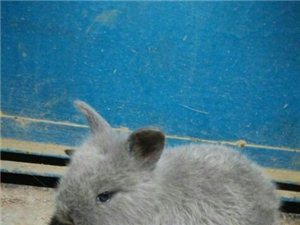 安哥拉小兔子 - 80元