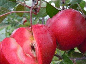 沂水红色之爱苹果树苗批发