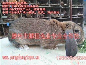 河南省出售純種公羊兔