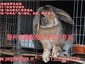 河南,鵬程兔業30年專培育:公羊兔,雜交野兔