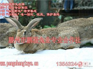 肉兔商品兔出售,河南供應優質肉兔商品兔,皮毛亮麗