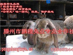 山东省哪里出售公羊兔