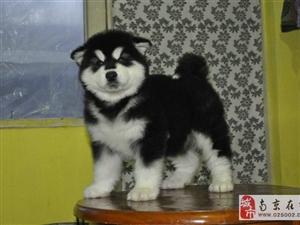 南京出售健康的阿拉斯加南京哪里有卖阿拉斯加犬