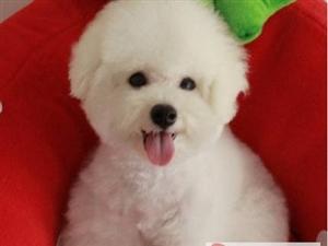 南京出售健康的比熊犬南京哪里有卖比熊犬