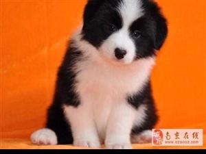 南京出售健康的边牧犬南京哪里有卖边牧犬