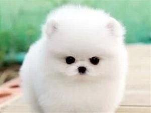 南京出售健康的博美犬南京哪里有卖博美犬