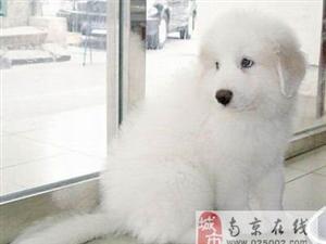 南京出售健康的大白熊南京哪里有卖大白熊犬