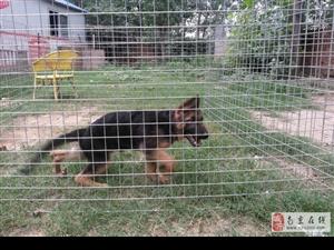 南京出售健康的德牧南京哪里有卖德牧犬