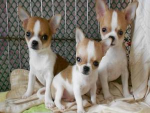 南京出售健康的吉娃娃南京哪里有卖吉娃娃犬