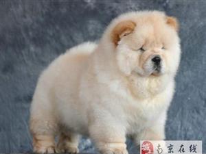 南京出售健康的松狮南京哪里有卖松狮犬