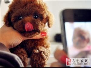南京出售健康的泰迪犬南京哪里有卖泰迪犬