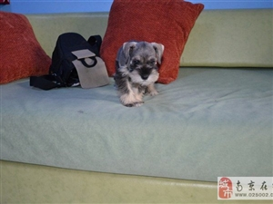 南京出售健康的雪纳瑞犬南京哪里有卖雪纳瑞犬