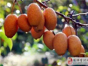出售金珠果沙梨苗,各种梨苗。15236225870