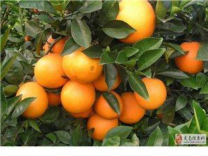 贛南臍橙,自家果園摘種的橙子