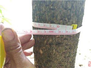 桢楠树出售