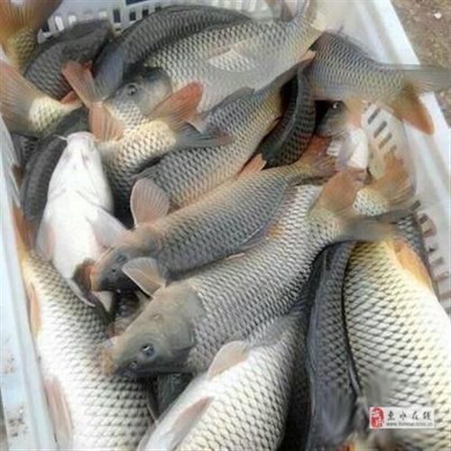 出售鲤鱼,草鱼鱼苗