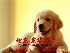 纯种金毛幼犬赛级枫叶系金毛价格北京金毛养殖基