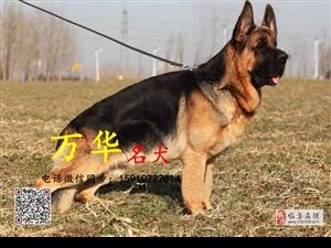 锤系德国牧羊犬价格德国牧羊犬怎么卖德国牧羊犬舍