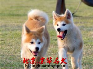 秋田多少钱一只三个月秋田幼犬出售