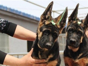 纯种德牧犬锤系德牧北京哪卖德牧幼犬