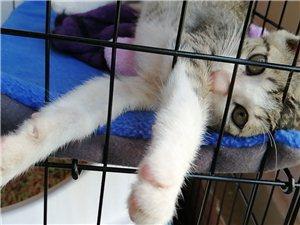 赠送一只两个月大的狸花猫