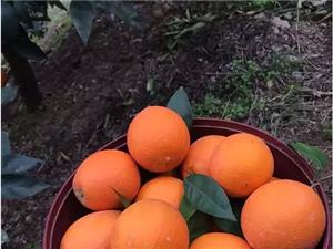 預售-奉節臍橙72-1