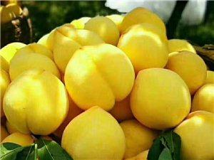 湖南地标产品,炎陵黄桃,自家在高山种的,好吃价优