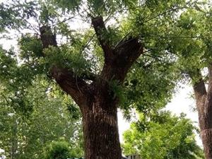 哪里有80公分國槐,直徑80公分國槐樹價格多少錢