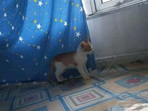 出售小猫咪,一个多月,可以吃猫粮了