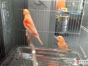 观赏鸟宠物鸟