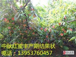 中秋红蜜桃中晚熟桃树新品种桃树苗出售