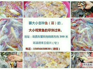 岳西要魚苗:黃鰱(1),草魚,大紅鯉魚(1斤